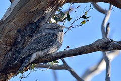 Tawny Frogmouth  ( Mum enjoying the warm sunshine )