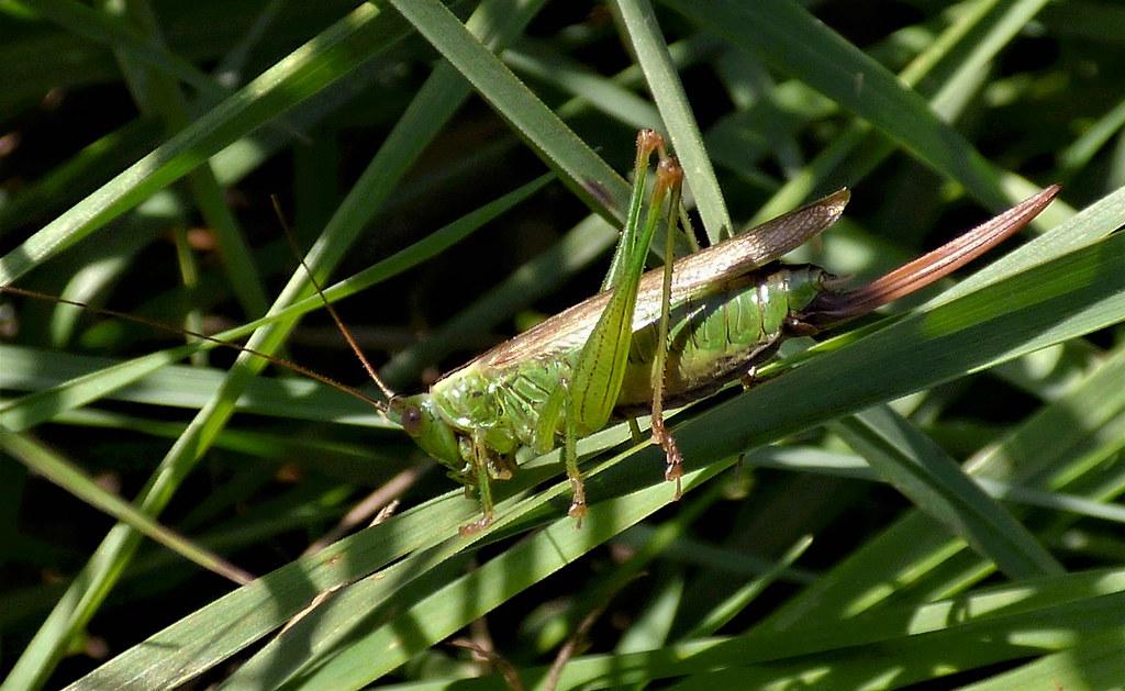 Conehead Cricket.