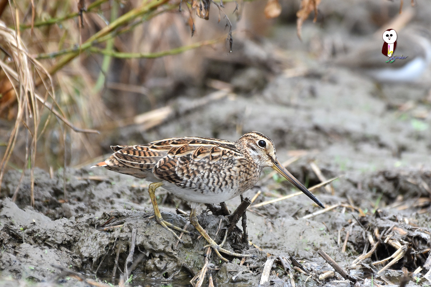 Common_Snipe_7515