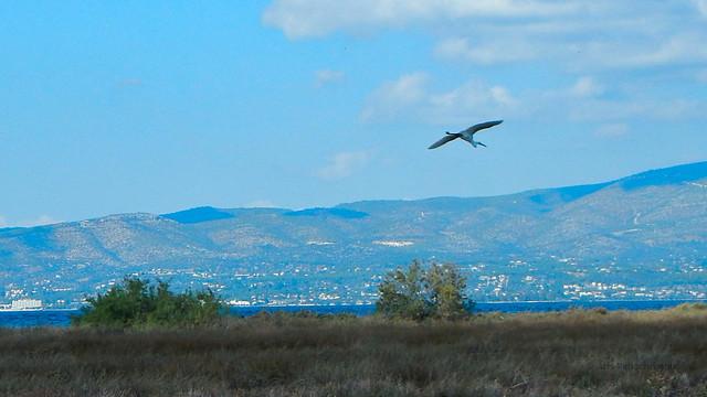 Little Egret at Oropos, Nikon COOLPIX AW110