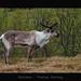 Reindeer by MC-80
