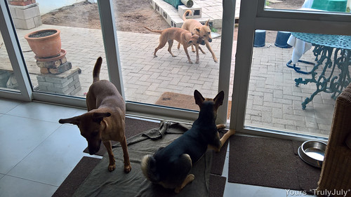Starsky is watching Gigi and Hutch playfight with great interest.