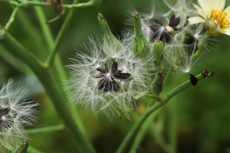 Lactuca indica  アキノノゲシ(実)