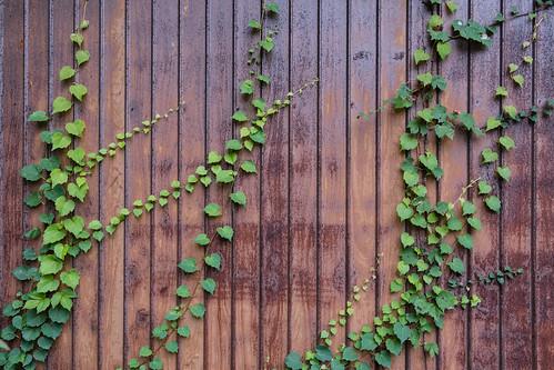 ivy plant kohama green metal orange xt20 fuji outdoors ehime wall woodpattern uwajima vine