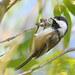 Black-capped Chickadee by Ceredig Roberts