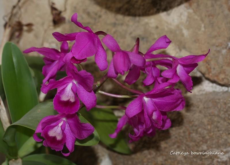 Cattleya bowringhiana 45159762151_eb4eb43075_c