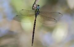 Phantom Darner (male)- Aripeka Sandhills Preserve