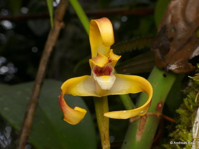 Maxillaria calichroma