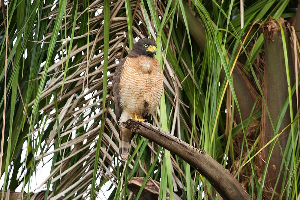 Дорожный канюк (Rupornis magnirostris)