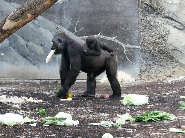 Gorilla Dian und Xetsa, Zoo Frankfurt