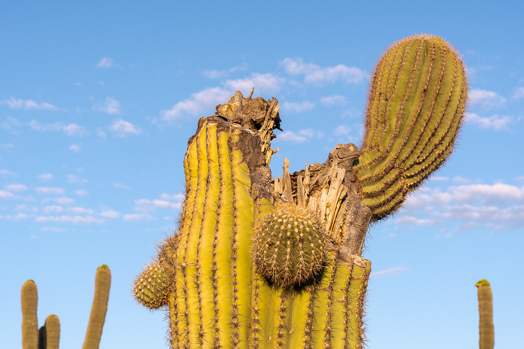A broken saguaro  still grows with one outstretched arm and two smaller arms below along the Janue Rau Trail in McDowell Sonoran Preserve