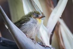 Madagascar White-eye fledgling