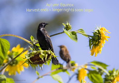 Autumn Equinox Blackbirds