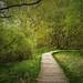 path through birches by Sabinche