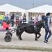 Kasaške dirke v Komendi 23.09.2018 Peta dirka Dirka enovpreg ponijev