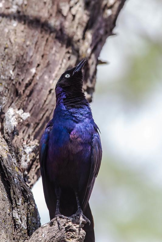 Serengeti_17sep18_01_ruppell's starling