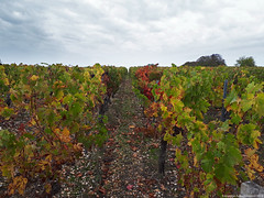 Vignoble - Photo of Prignac-en-Médoc