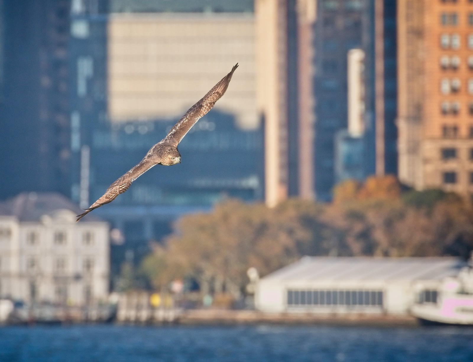 Red-tail flying past Battery Park