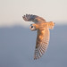 Barn Owl Hunting In Daylight by Yamil Saenz