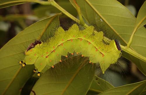 Female Indian Moon Moth Caterpillar (Actias selene, Saturniidae)