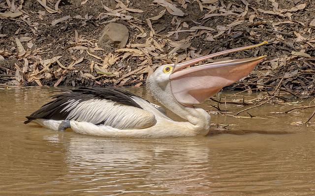 alice river - australian pelican