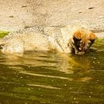 Wolf im Wasser - August 2006