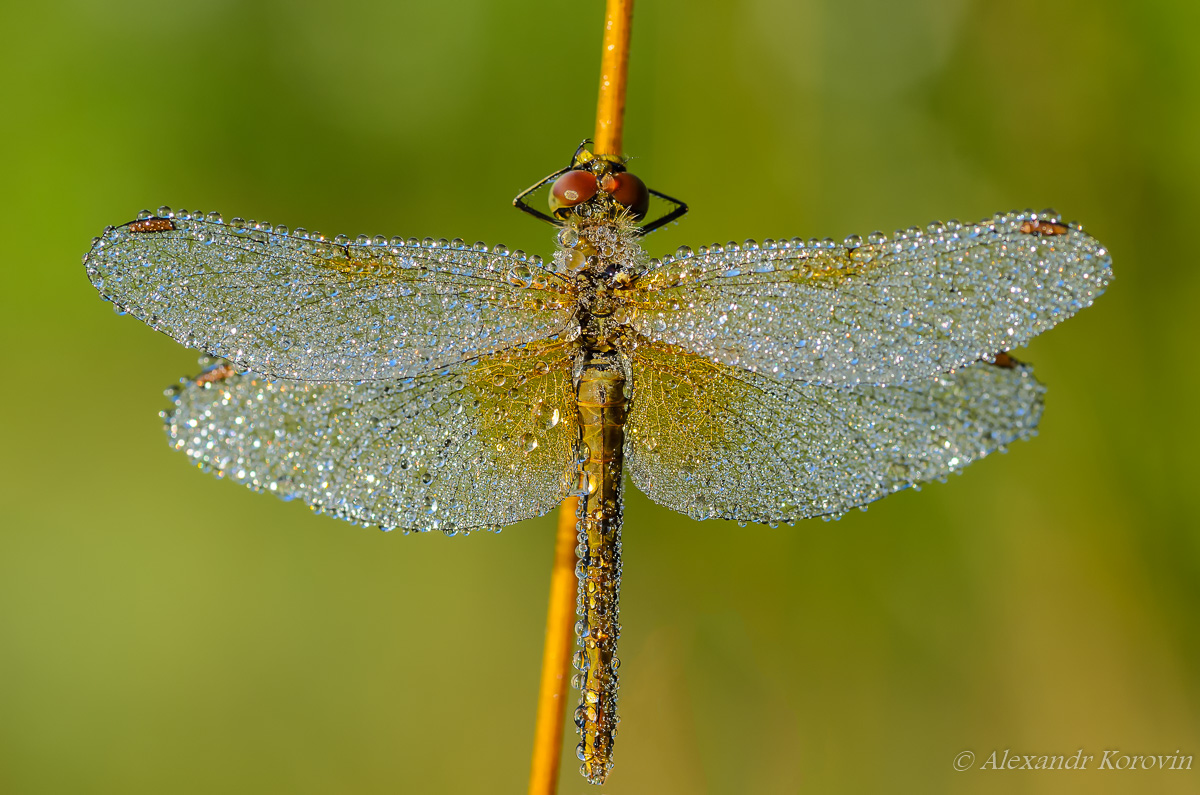 Sleeping dragonfly with wings covered with drops of dew
