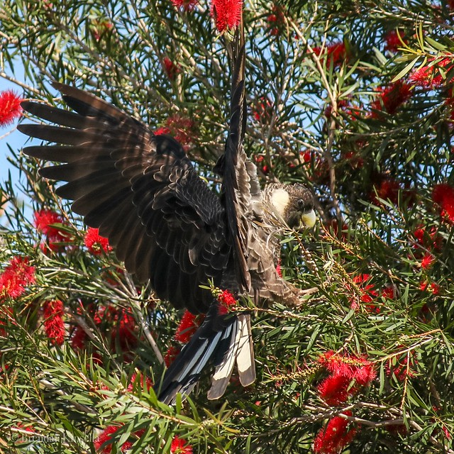 Carnaby's Black-Cockatoo (Calyptorhynchus latirostris). The Bottlebrush around the northern suburbs of PERTH are flowering prolifically and are providing a food source for these beautiful endangered Cockatoos.