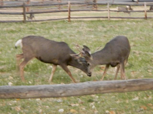 Battle of the Deer, Nikon COOLPIX AW100