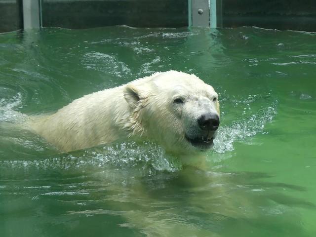 Eisbär Vitus, Tierpark Neumünster