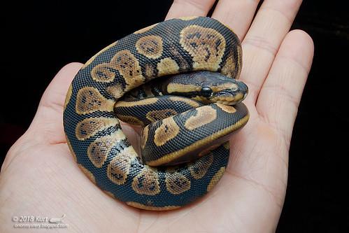 Python regius_MG_2726 copy