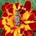 grasshopper_marigold