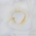 White Camellia (IV), 1.19.18