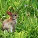 Young Rabbit by robin denton