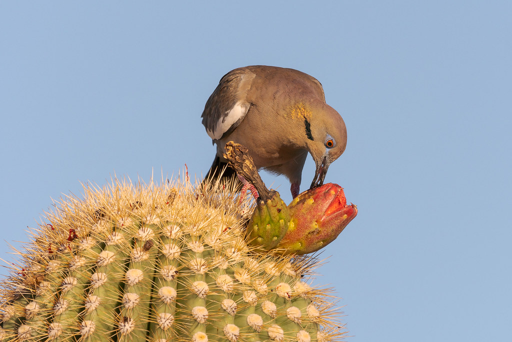 Early on a summer morning, a white-winged dove uses its tongue to eat from deep within the fruit of a saguaro on the Latigo Trail in McDowell Sonoran Preserve
