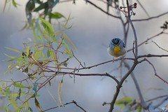 Spotted Pardalote ( Male not my happy face )