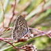 Silver Studded Blue Butterfly 2