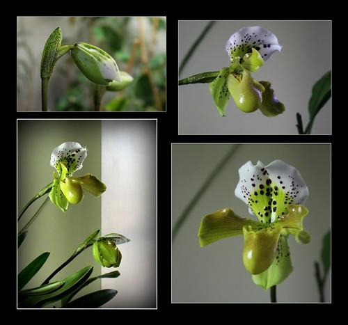 orchidées - floraisons du moment 2018 - Page 4 44666437264_06102f9ac4