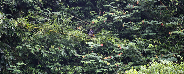 Dusky Leaf Monkey with young in the inaccessible jungle of Khao Sok