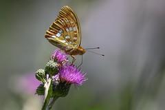 High Brown Fritillary (Skovperlemorsommerfugl), Dignes-les-Bains - Photo of Champtercier