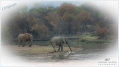 Limpopo Elephants