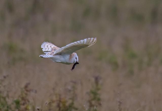 DSC8382 Barn Owl...