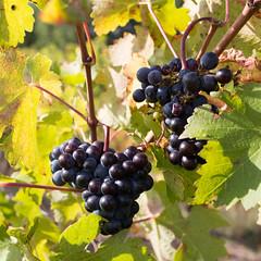 Grappes de raisin, variété Négrette