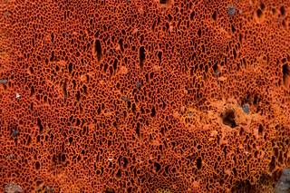 Pycnoporous fungi