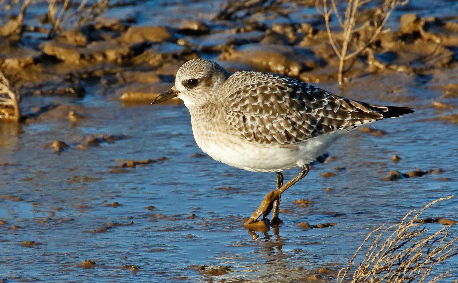 Grey Plover - winter plumage