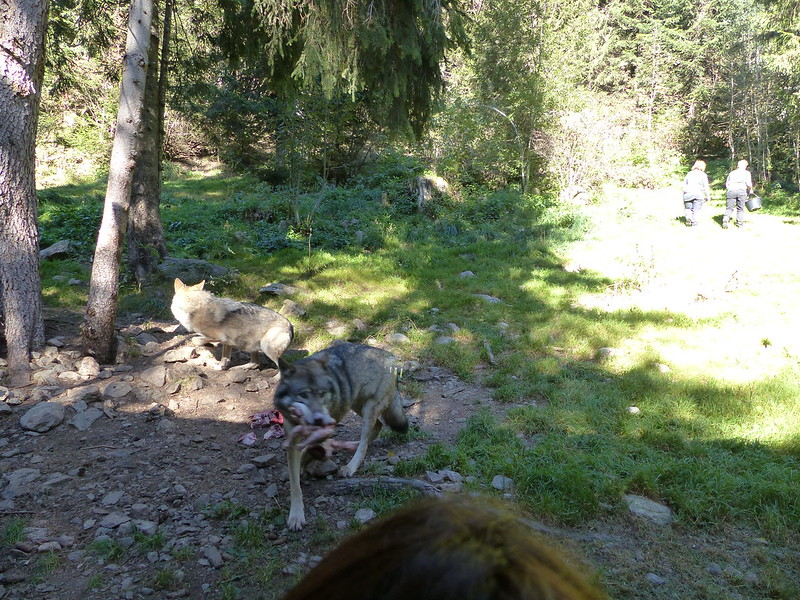Kikeriki #18 Loup