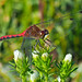 White-faced Meadowhawk - Sympetrum internum (Libellulidae) 118z-9077515