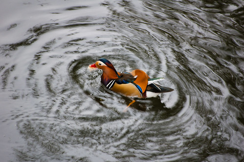 Mandarin duck male