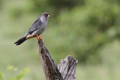 Amur falcon, Falco amurensis, male at Kruger Park