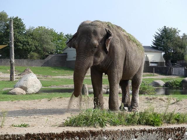 Asiatischer Elefant, Zoo Givskud